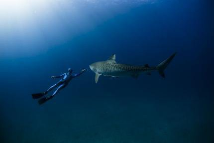 Un beau requin tigre (1/2)