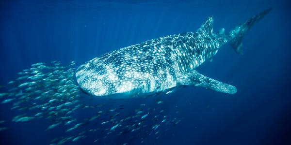 Requin baleine (1/3)