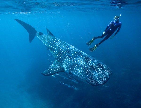 Requin baleine (2/3)