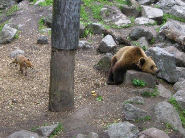 Un renard qui regarde un ours dormir