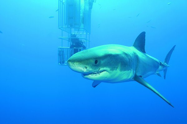 Un requin blanc (2/2)