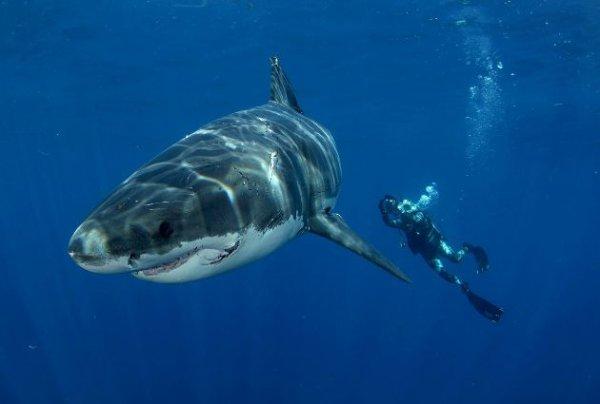 Un requin avec la présence d'un humain (1/6)