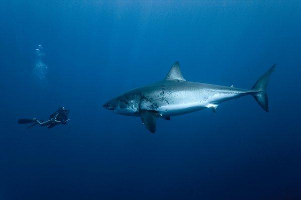 Un requin avec la présence d'un humain (2/6)