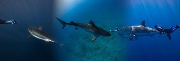 Un requin avec la présence d'un humain (5/6)