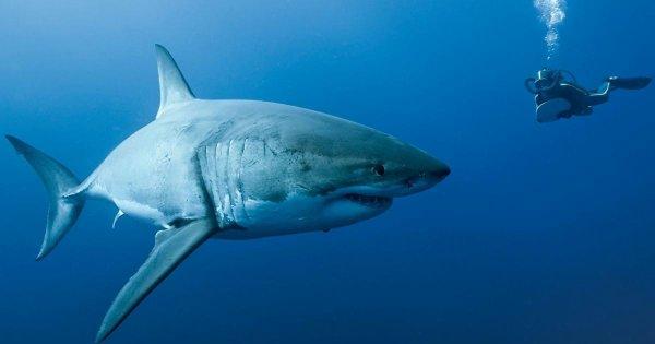 Un requin avec la présence d'un humain (6/6)