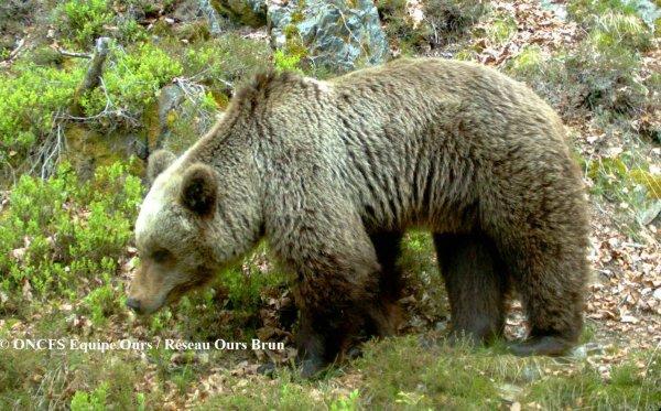 VIDÉO. Jeu de séduction entre deux ours dans les Pyrénées