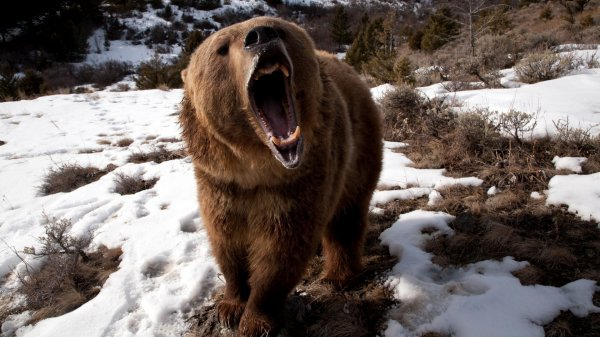 Un ours qui est très énervé
