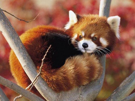 Un panda roux qui se repose