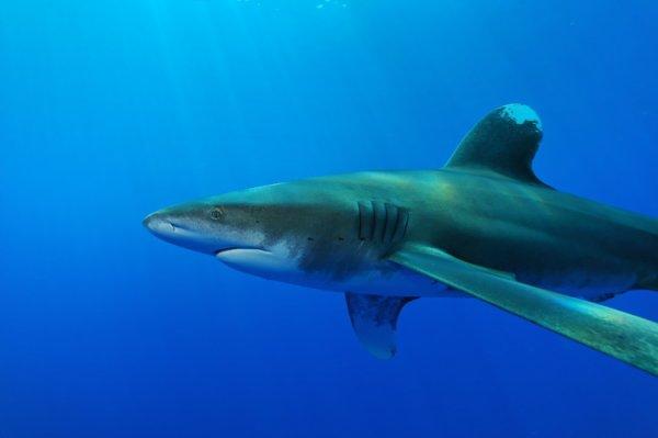 Un requin tout tranquille