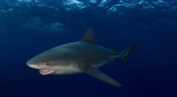 Un beau requin (1/2)