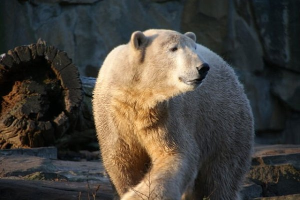 Nos amis les ours (1/2)