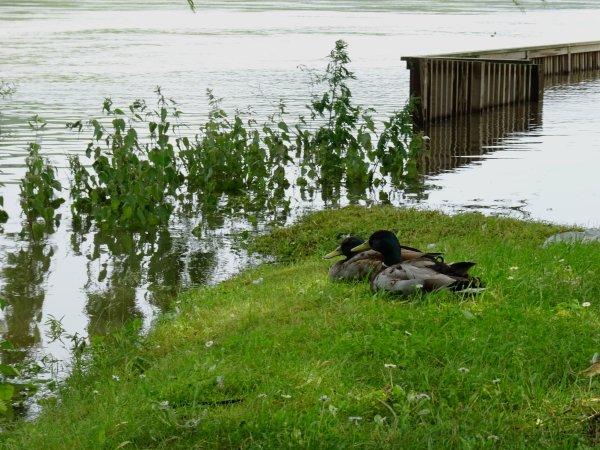 Des canards qui regardent les inondations