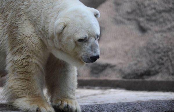 """Décès d'Arturo, """"l'ours polaire le plus triste du monde"""""""