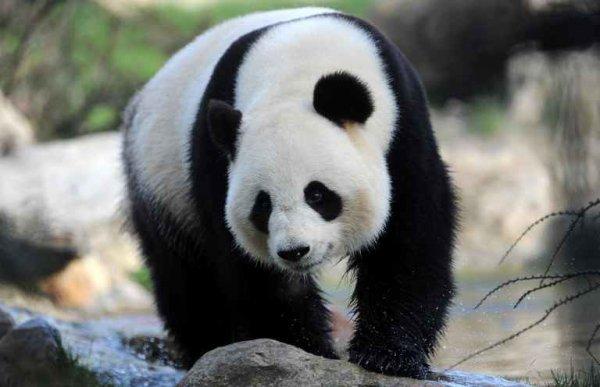 Pas de petit panda cette année au zoo de Beauval