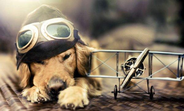 Un chien aviateur