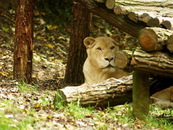 Une belle lionne