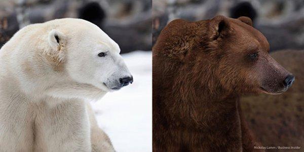 Ours blanc et ours brun ils sont tous beaux