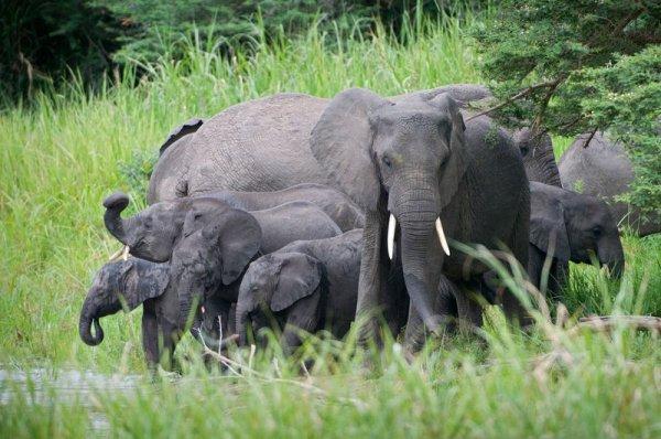 Un magnifique troupeau d'éléphants (2/2)