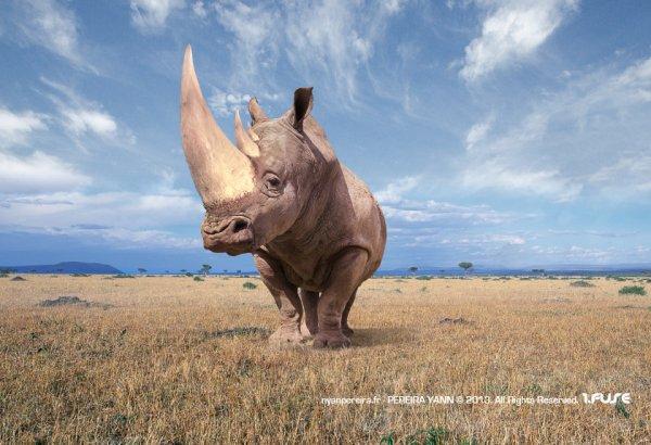 Un rhinocéros pris de très près