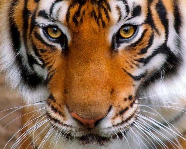 Un tigre qui vous regarde