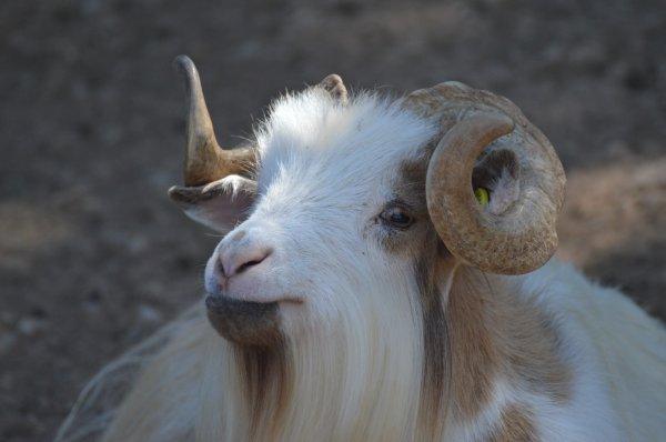 Une belle chèvre (2/2)