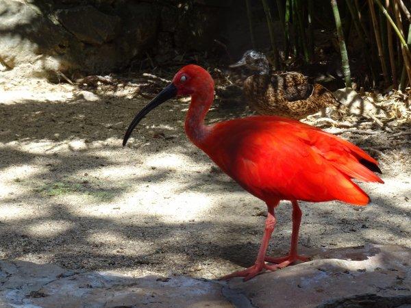 Ibis rouge (1/2)