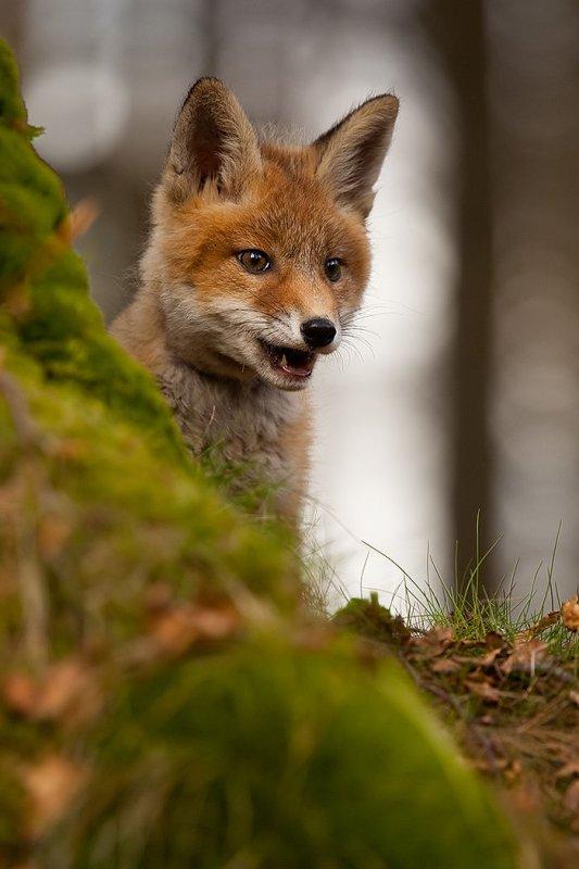 Joli jeune renard