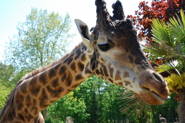 Une très belle girafe
