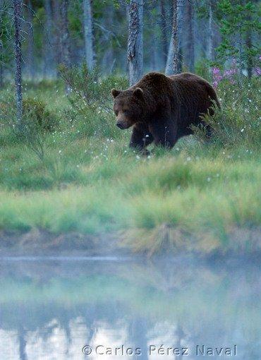 Un ours brun en approche d'un point d'eau