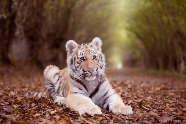 Un beau tigre