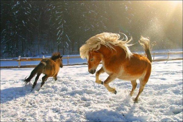 Des chevaux dans la neige