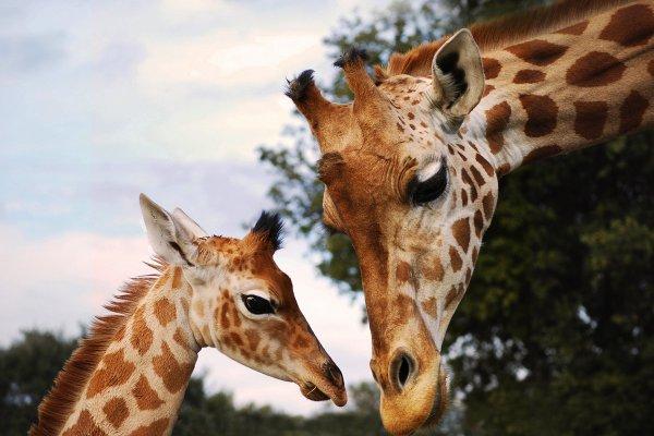 Des belles girafes (2/2)