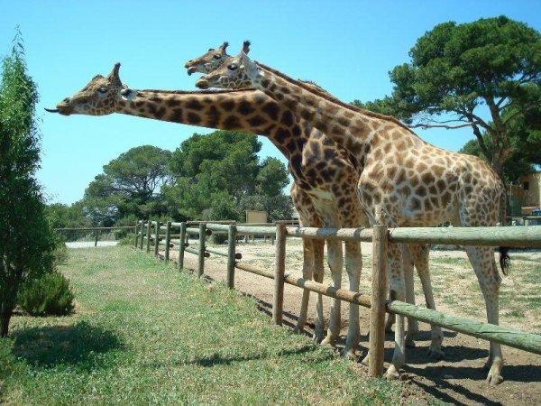 Des belles girafes (1/2)