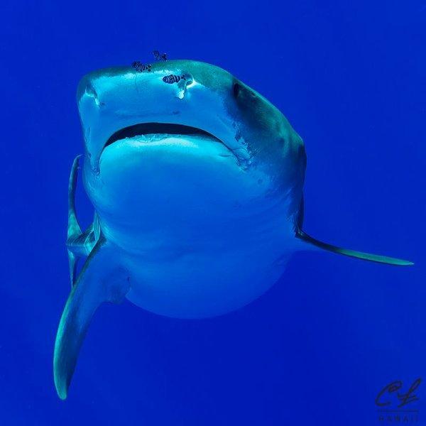 Un très beau requin (2/2)