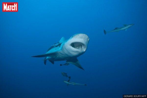 Un très beau requin (1/2)