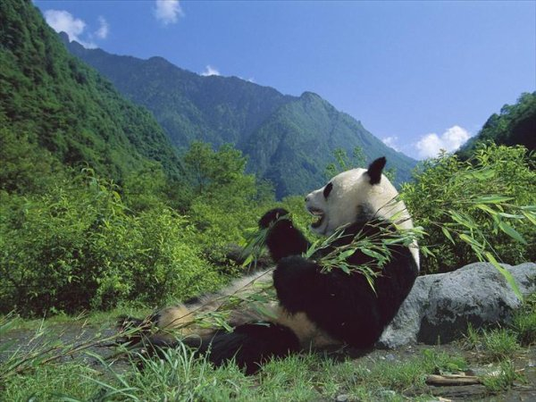 Un panda gourmand