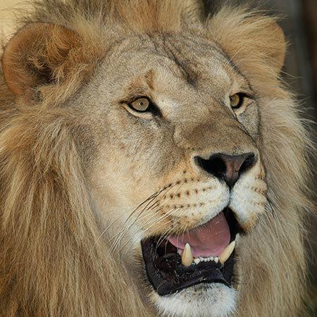Un magnifique lion