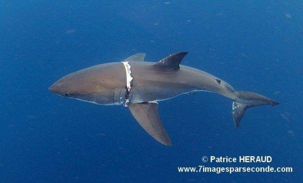Un requin blessé