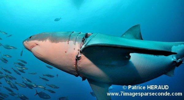 Un requin blessé (3/3)