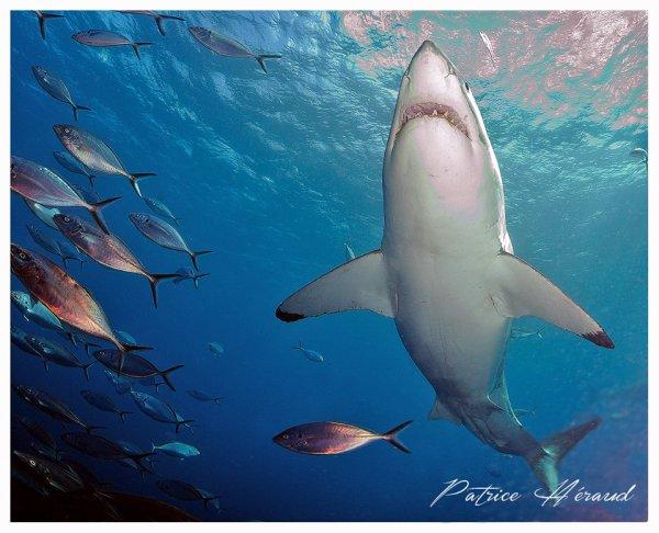 Un requin vue de son ventre