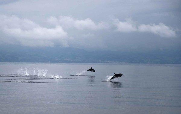 VIDEO. Saint-Brieuc: Des dauphins escortés vers la sortie du port