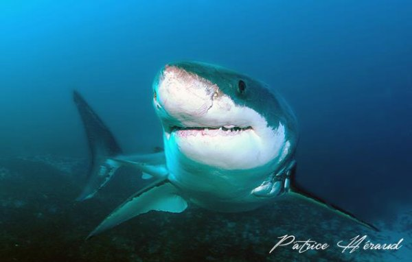 Ce grand requin blanc vous fixe (1/3)