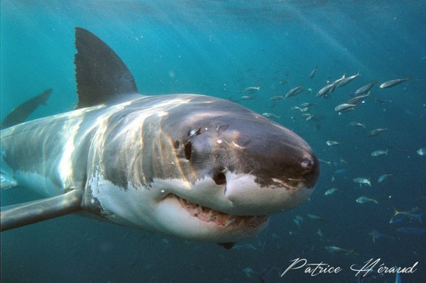 Ce grand requin blanc vous fixe (2/3)