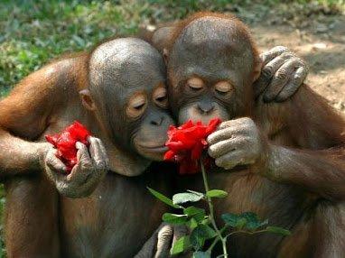 Des singes amoureux
