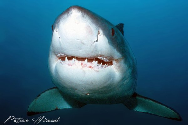 Un requin blanc paisible