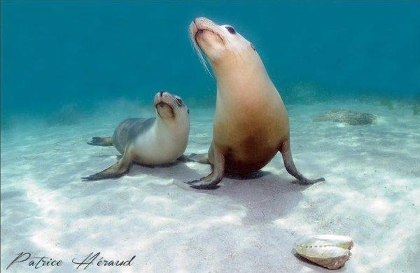 Deux beaux lions de mer