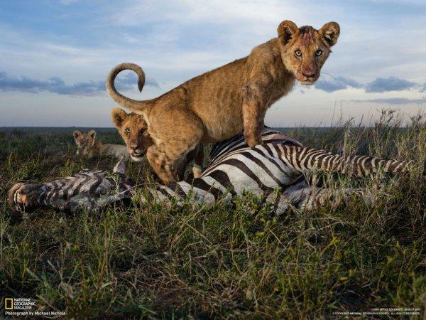 Une lionne qui vient de tué sa proie