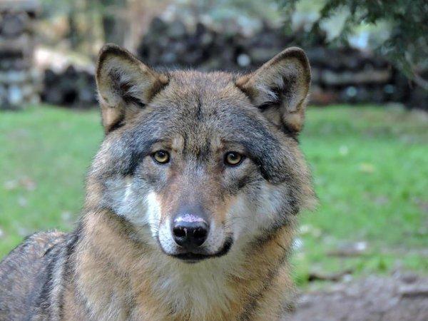 Sur mon blog c'est la semaine du loup (45/45)