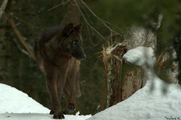 Sur mon blog c'est la semaine du loup (43/45)