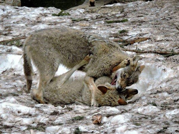 Sur mon blog c'est la semaine du loup (42/45)